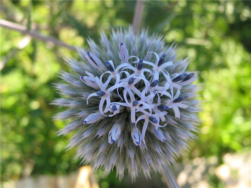 Цветок мордовника круглоголового