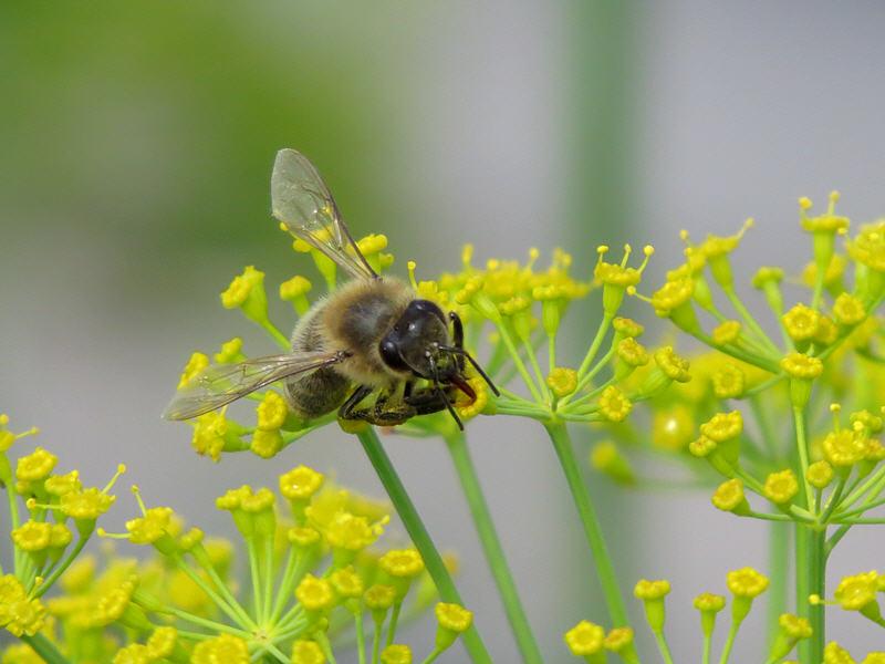 Медоносная пчела вылизывает нектар