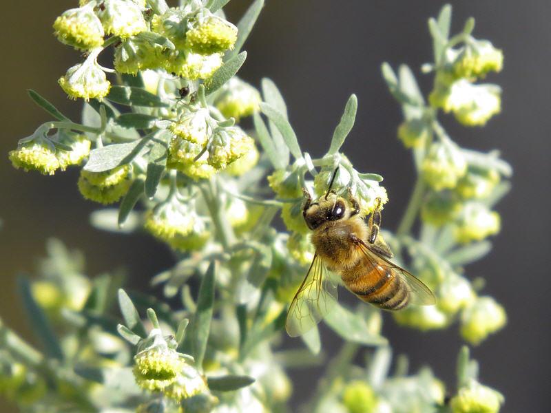Пчела на цветках полыни горькой