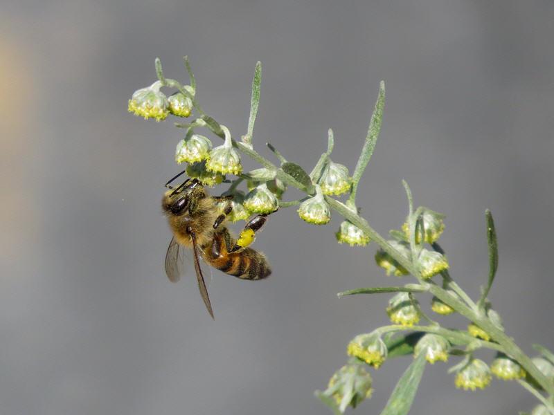 Пчела собирает пыльцу с цветков полыни