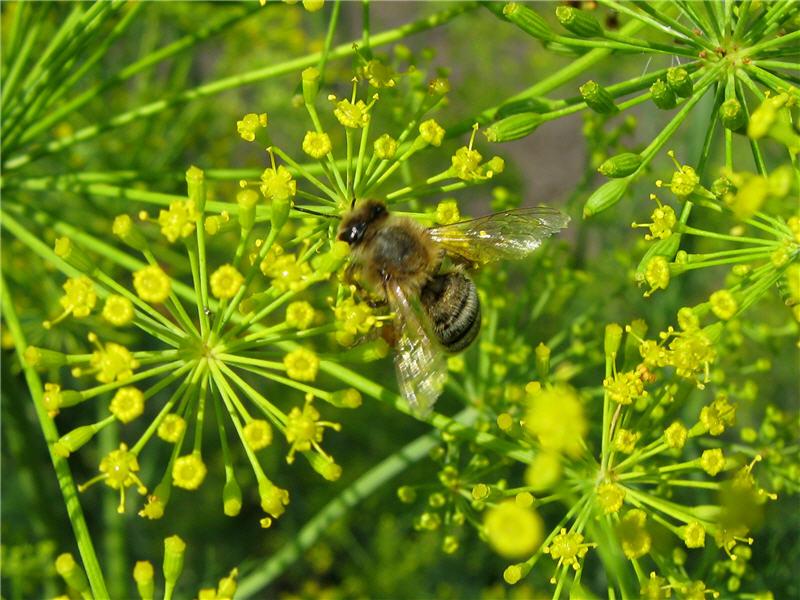 Цветок укропа и пчела