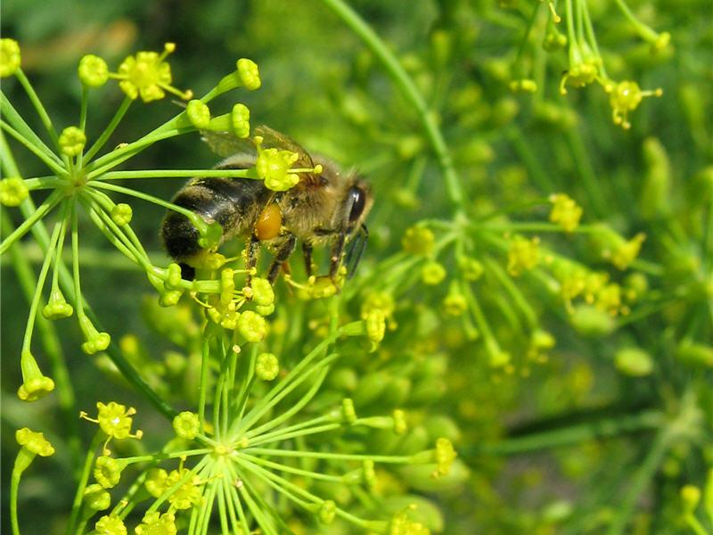Медоносная пчела на укропе
