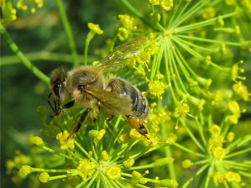 Пчела с обножкой на укропе