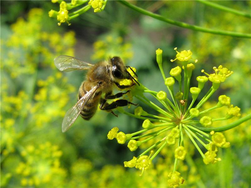 Пчела на цветке укропа