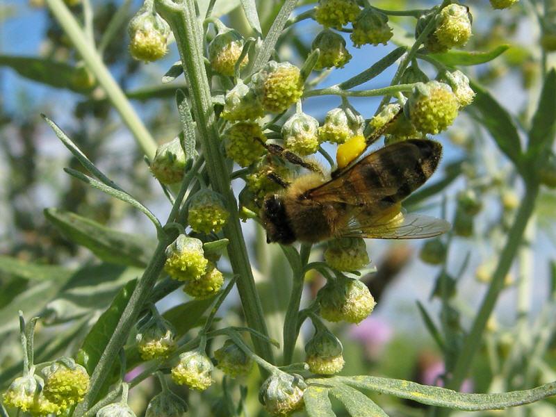 Пчела на цветках полыни