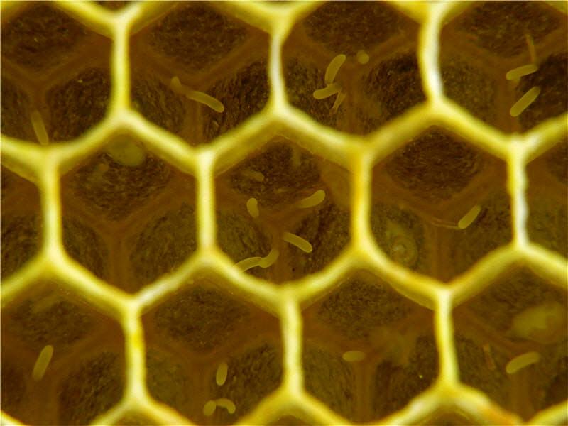 Пчёлы-трутовки фото