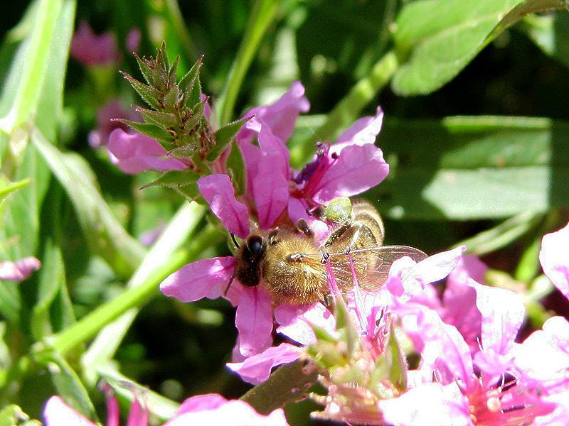 Пчела с жёлто-зелёной обножкой