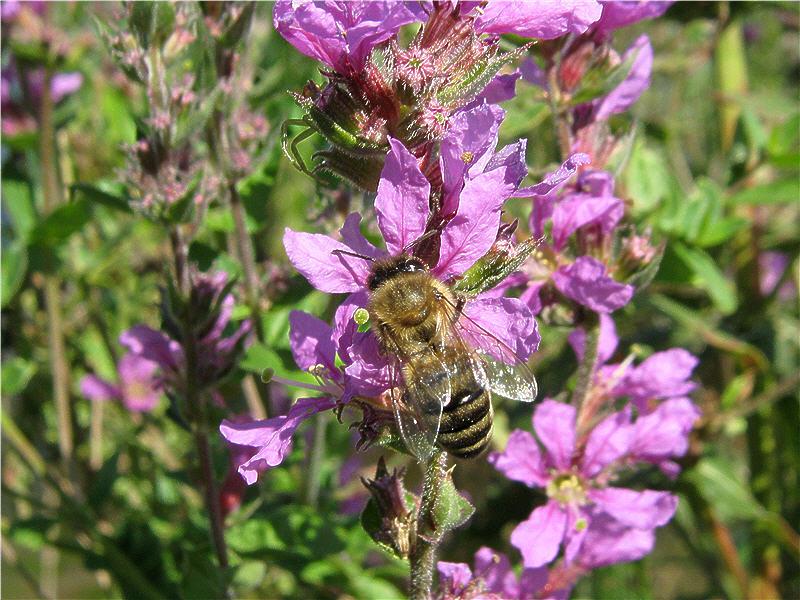 Пчела на цветке дербенника иволистного