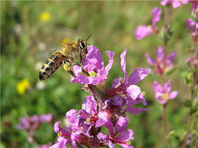 Фото пчелы на цветке