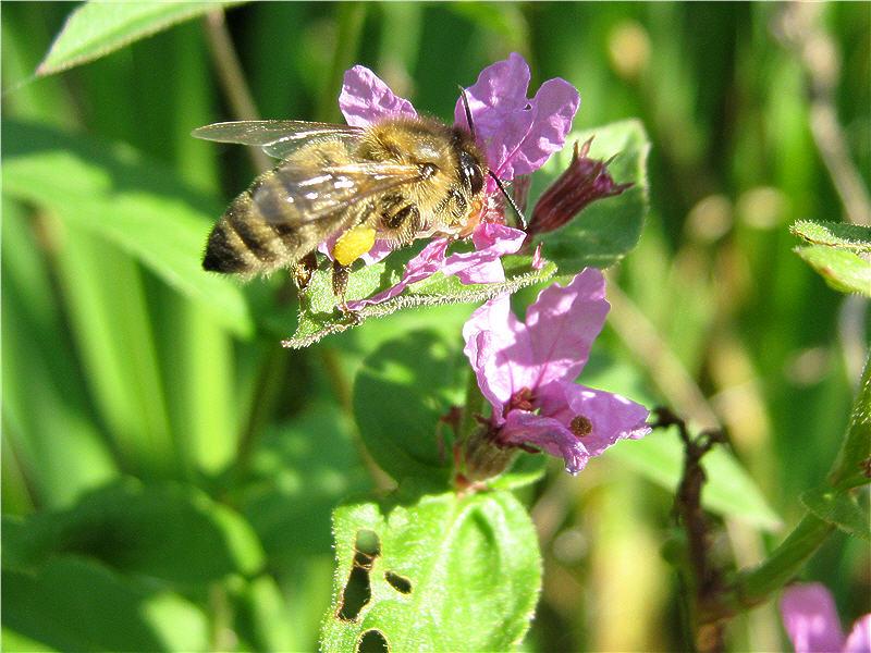Плакун-трава и пчела