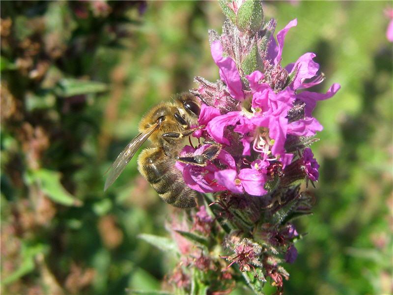 Пчела на цветке дебренника
