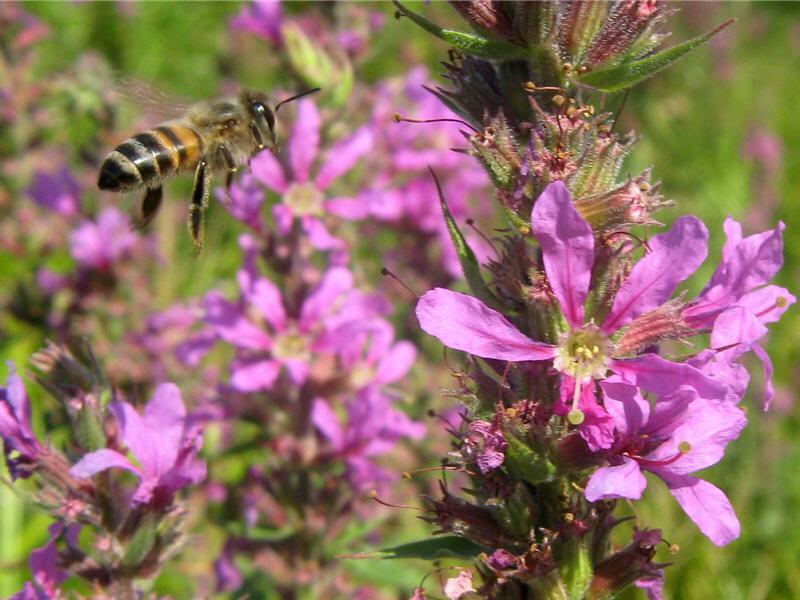 Пчела на цветках дербенника
