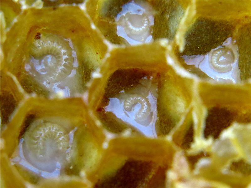 Личинки пчёл