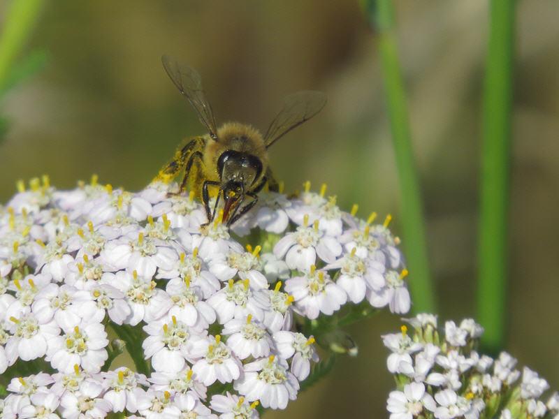 Соцветие тысячелистника и пчела