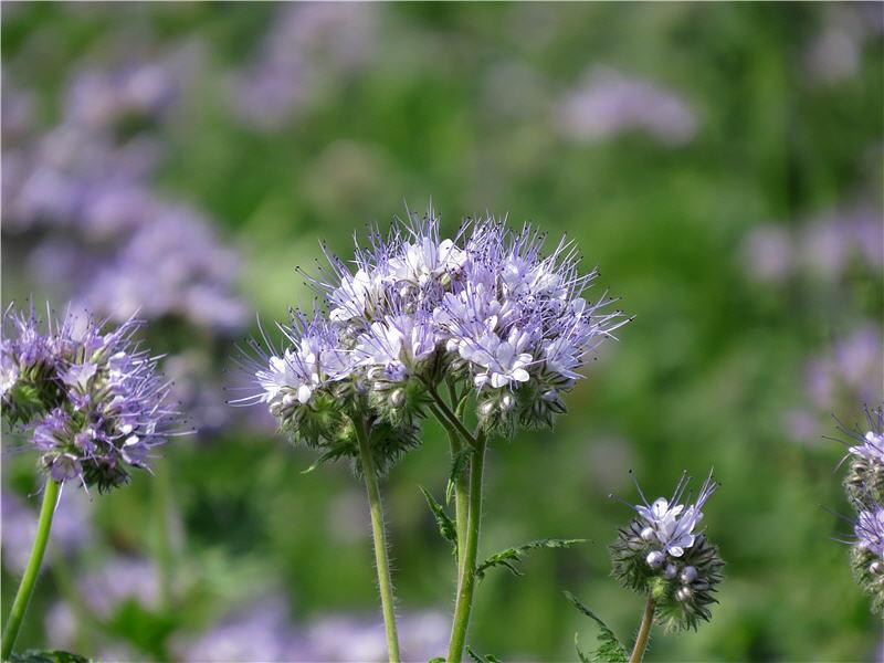 Фацелия - фото цветка