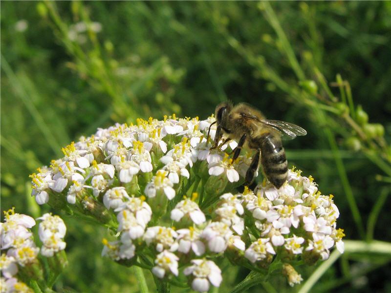 Фото пчела тысячелистник