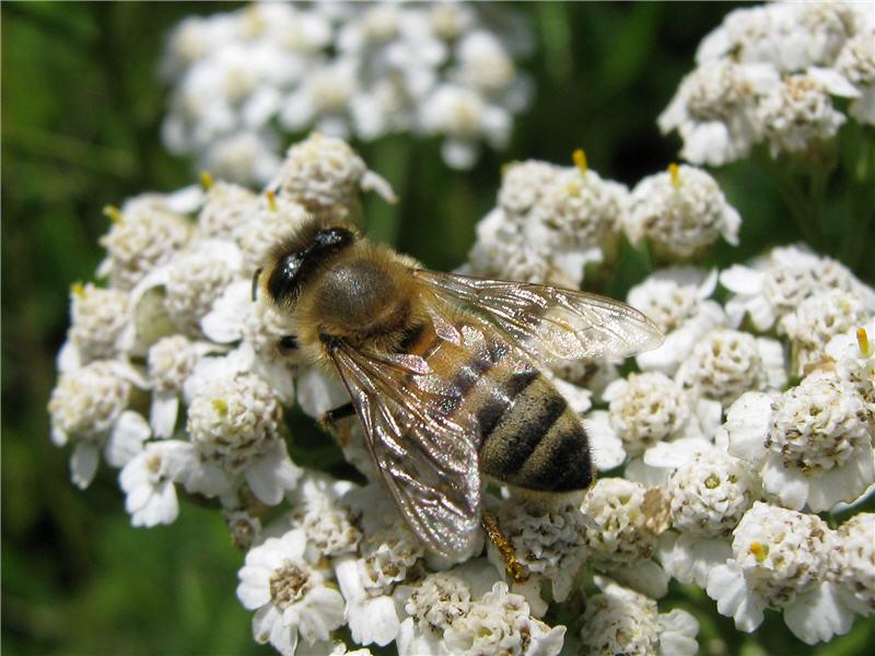 Пчела на тысячелистнике