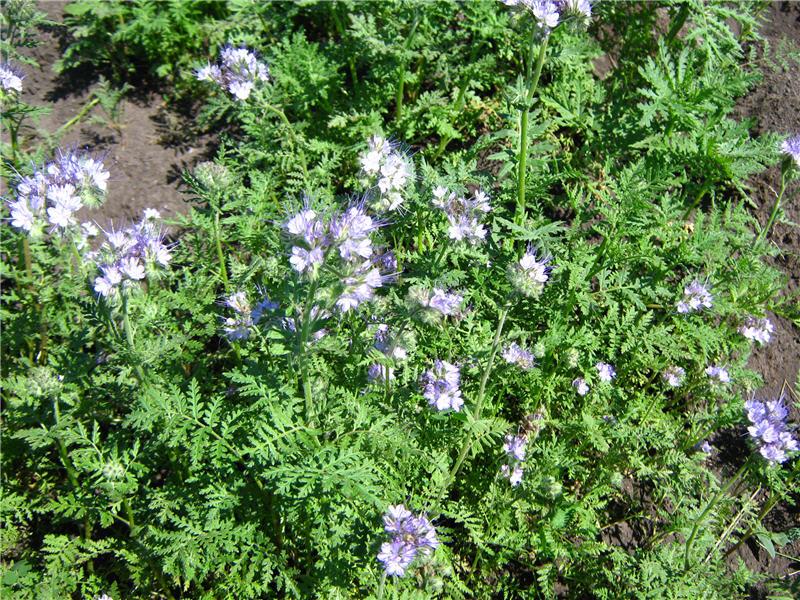 Фацелия - общий вид растения