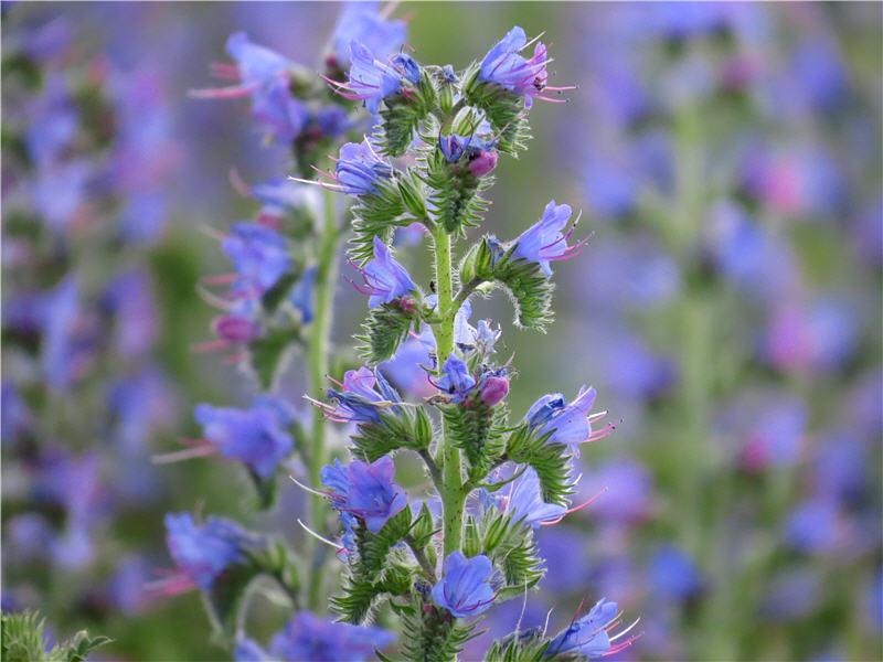 Цветки синяка обыкновенного