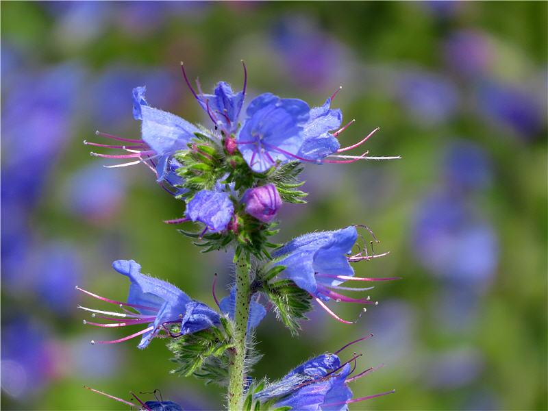 Цветки синяка - вид сбоку