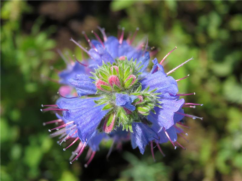 Цветки синяка - вид сверху