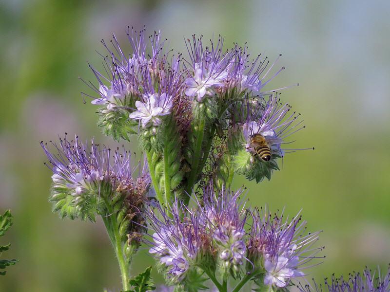 Фацелия цветёт - пчела идёт
