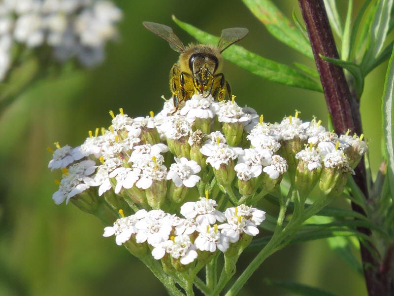 Пчела и тысячелистник