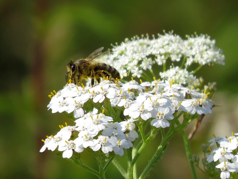Пчела на цветках тысячелистника