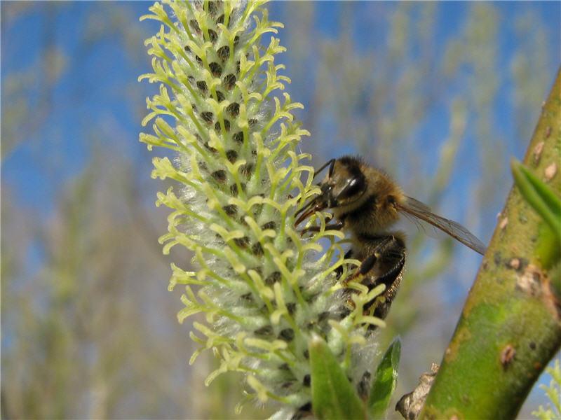 Пчела на цветке ивы