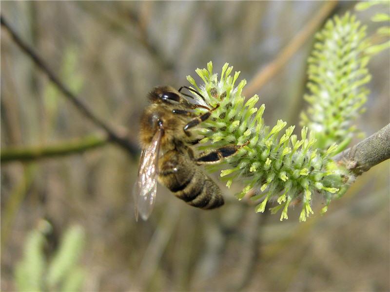 Ива прутовидная и пчела