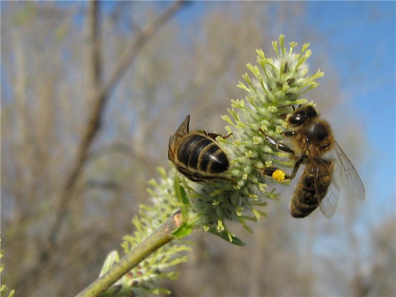 Пчёлы собирают ивовый мёд
