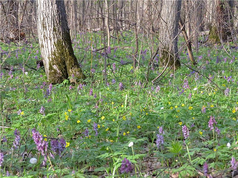 Хохлатка в лесу
