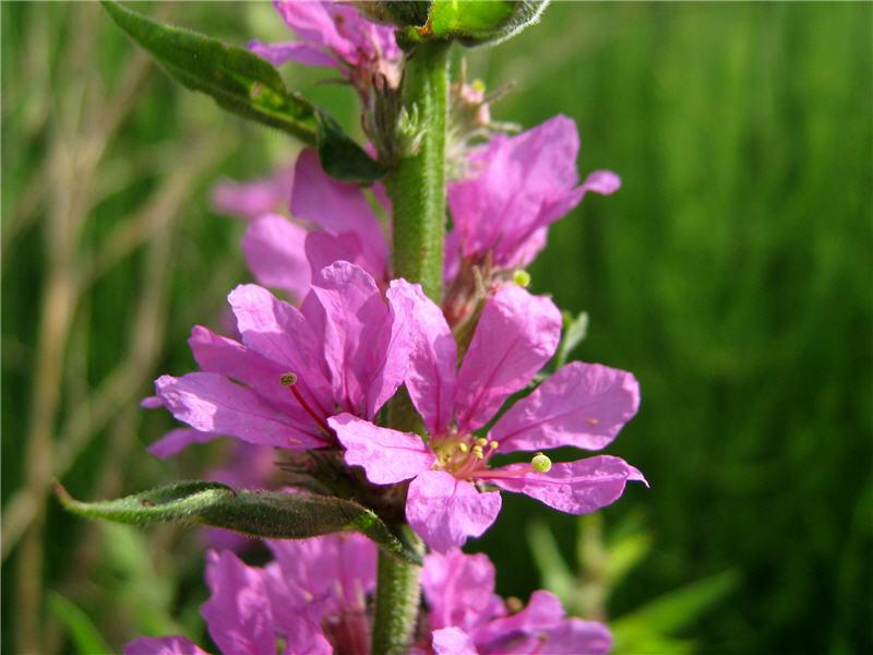 Цветки дербенника иволистного