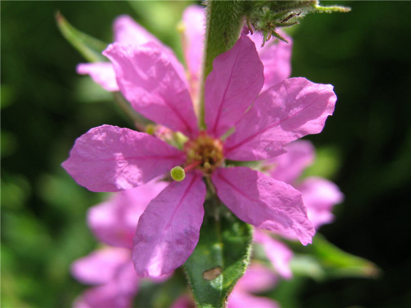 Цветок дербенника иволистного