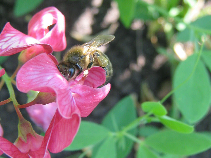Цветок чины и пчела