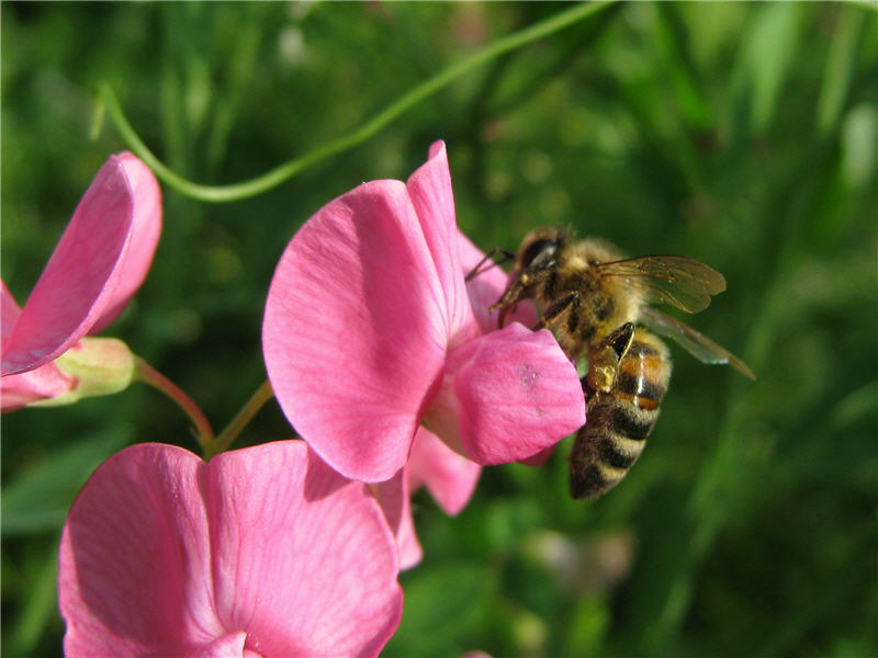 Пчела на цветке чины лесной