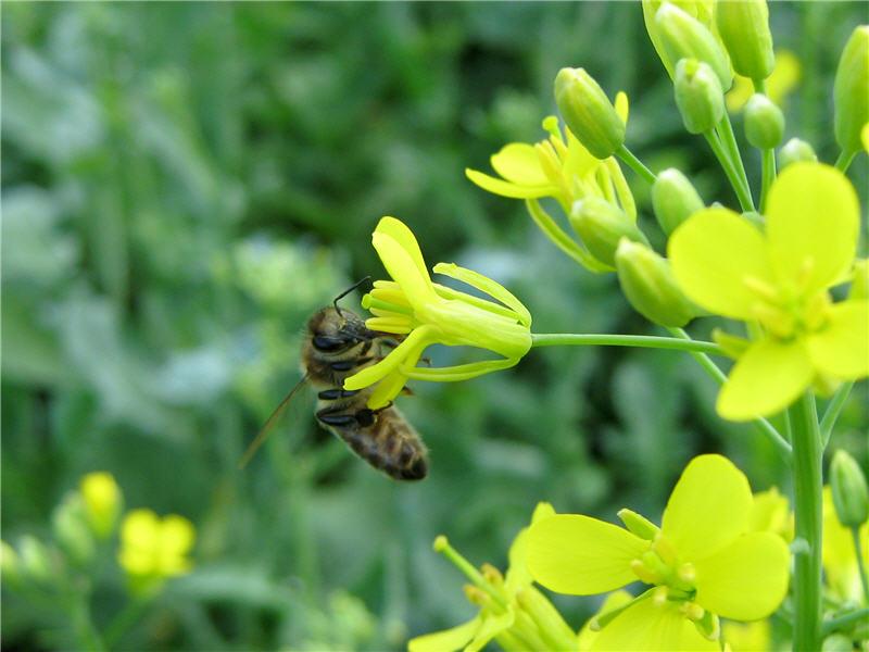 Рапс яровой и пчела