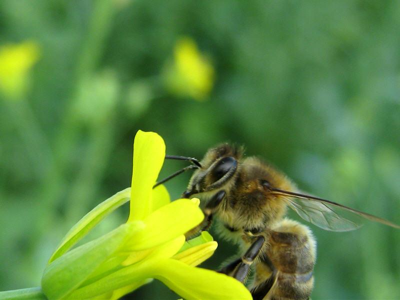 Пчела на цветке рапса