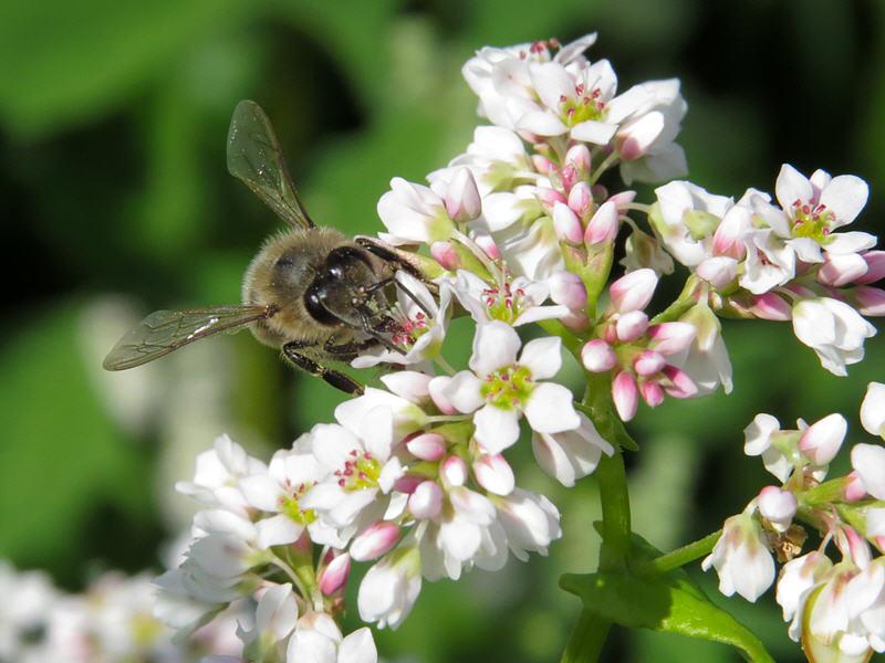 Гречиха и пчела медоносная