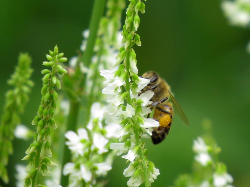 Пчёлы на цветках донника белого