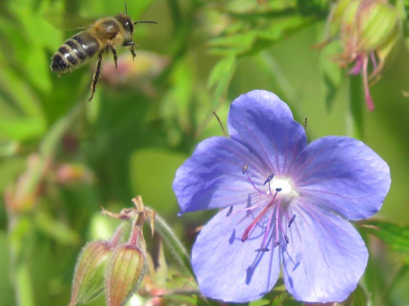 Пчела подлетает к цветку герани луговой
