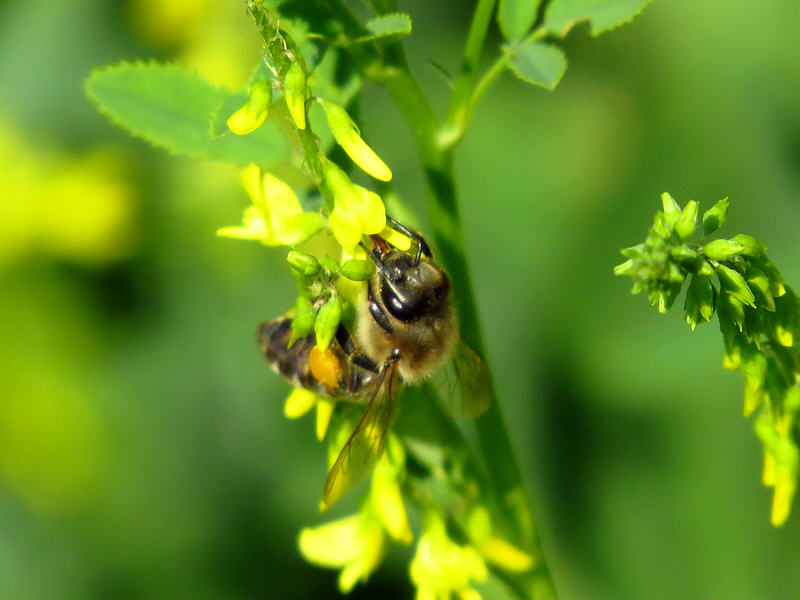 Пчёлы на цветках донника жёлтого
