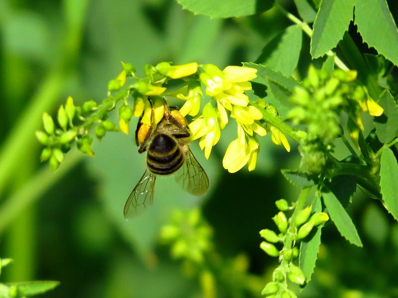 Пчела и цветки донника жёлтого