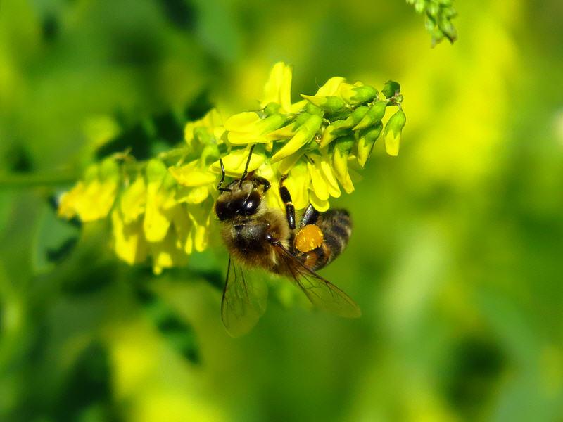 Донник и пчела фото