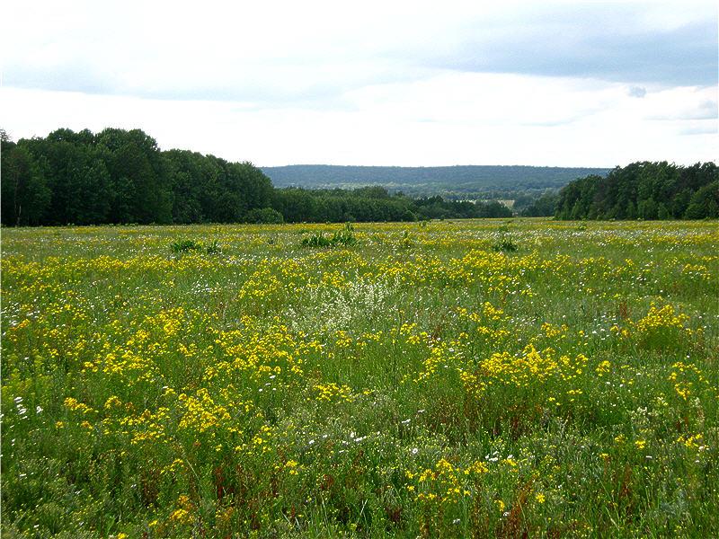 Жёлтые цветы - зверобой продырявленный, или обыкновенный