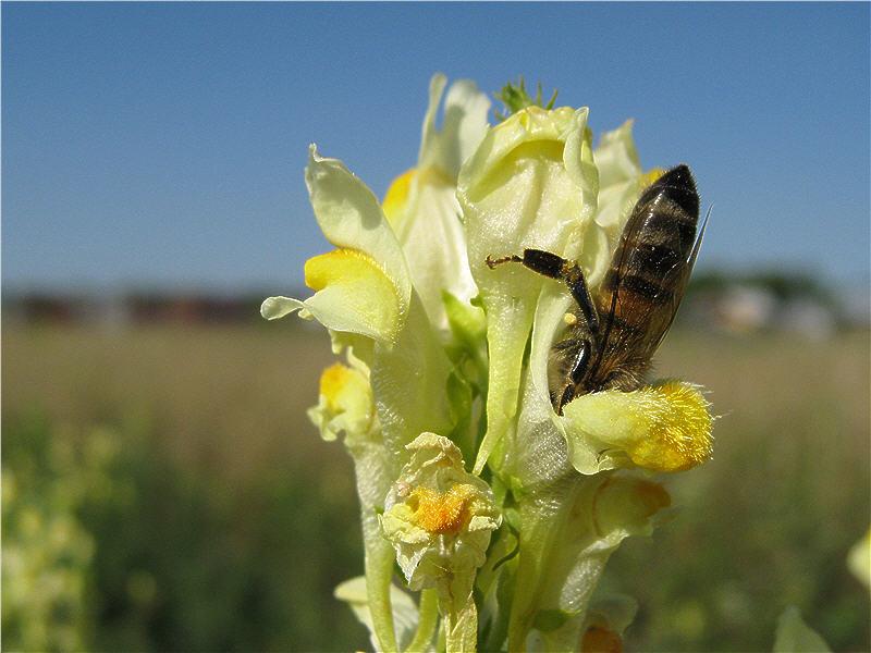Пчела лезет за нектаром