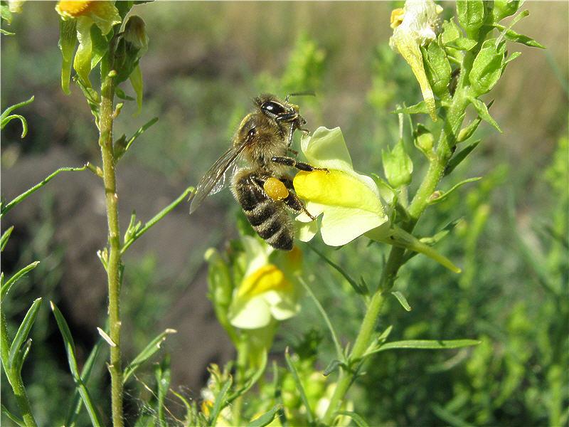 Пчела на цветке льнянки обыкновенной