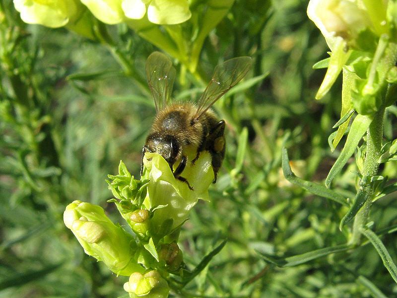 Пчела и льнянка