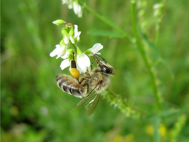 Цветок белого донника с пчелой