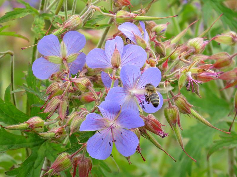 Пчела на цветках герани луговой